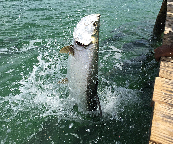 Tarpon Fishing in Key West