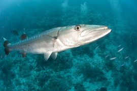 beautiful photo of a barracuda in Key West