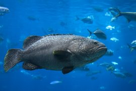 Large underwater Grouper near Key West FL