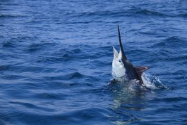 Blue Marlin on a fishing line off the coast of Key West FL