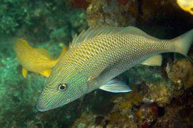 yellowtail snapper in Key West FL