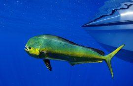 Mahi Mahi off the coast of Key West FL