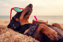 Dog wearing sunglasses trying to stay cool in the summer heat